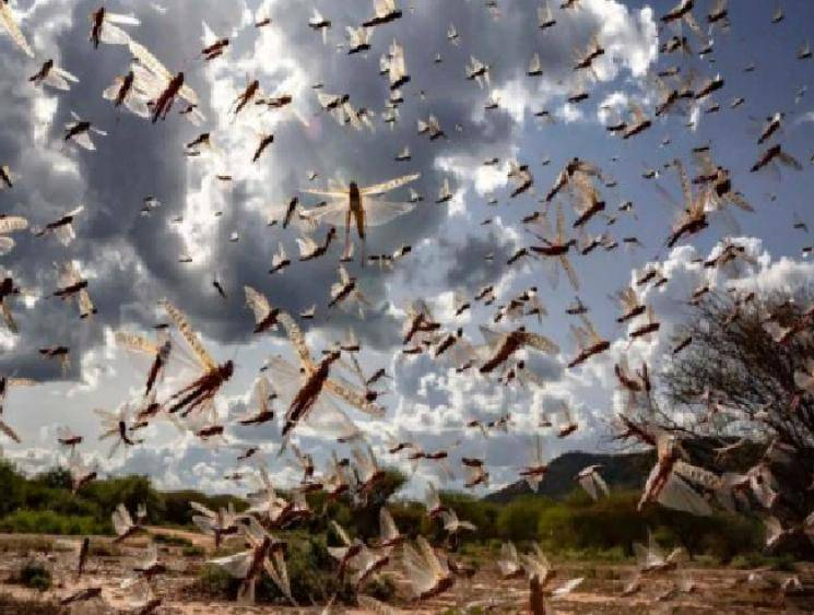 Telangana moves into high alert due to locust attack risk! - Daily news